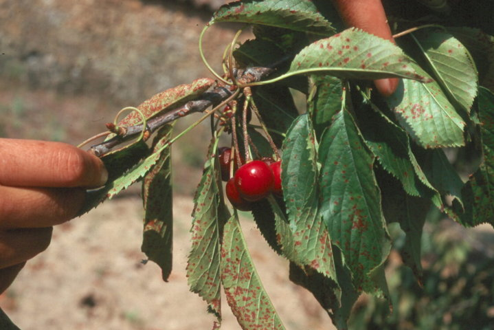 Enfermedades más frecuentes del cerezo en Extremadura