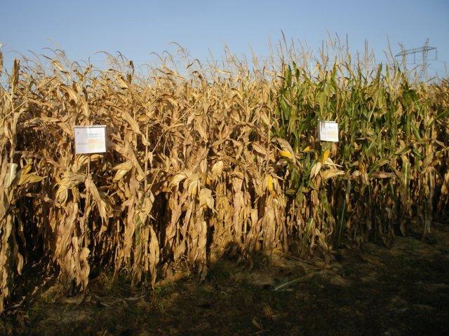 Evaluación de nuevas variedades de maíz para grano de ciclo 700 y transgénicas