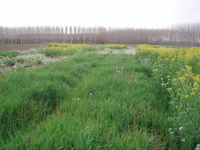 Cultivos captadores de nitrógeno, una buena práctica en el cultivo de maíz