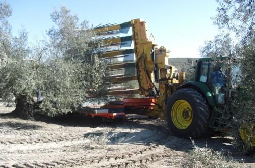 El futuro del olivar tradicional y de su recolección