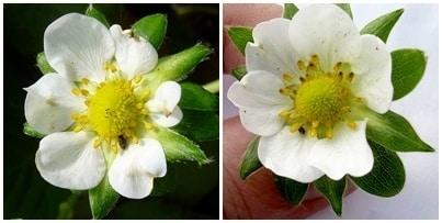 El trips de las flores y su control en el cultivo de la fresa