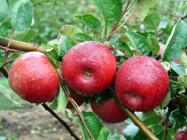 Seguimiento y control de grafolita en manzano