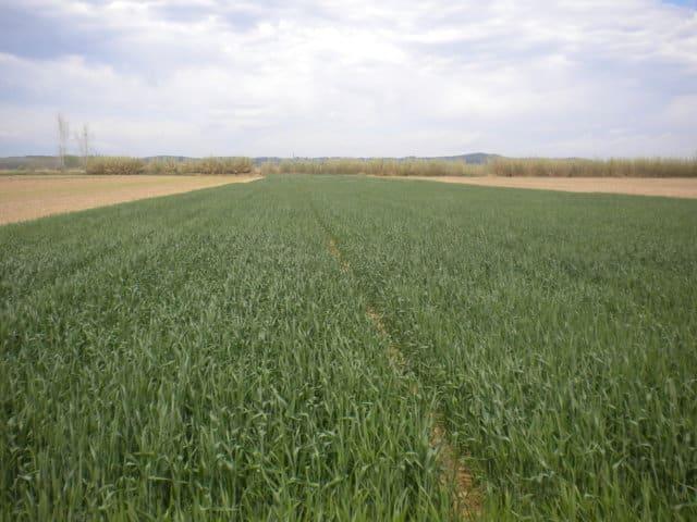 Fertilización nitrogenada en cobertera y calidad del trigo para panificación