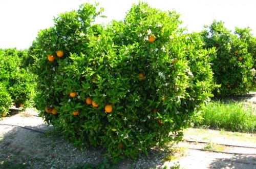 Análisis del cultivo de los cítricos en Andalucía