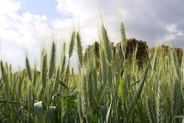 Estrategias de abonado de fondo del cereal de invierno