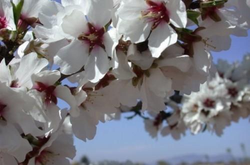 El cultivo del almendro en zonas muy frías con variedades de floración extra-tardía