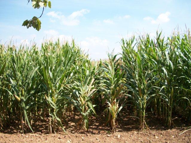 Efecto de las virosis en la producción de maíz grano