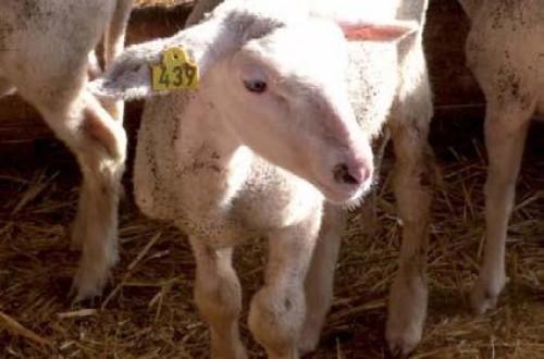 Poliartritis recurrente causada por E. rhusiopathiae en corderos