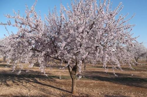 Estrategias de fertilización en el cultivo del almendro