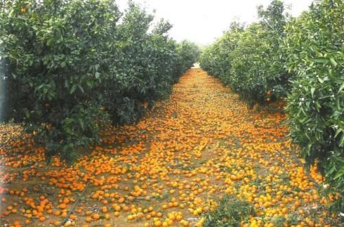 Una campaña citrícola irregular marcada por el desastre final en las variedades de naranja