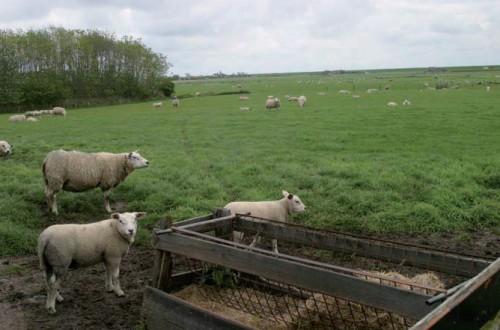 El modelo familiar ganadero de ovino y caprino en Holanda