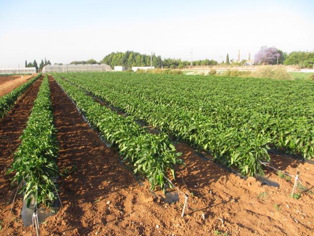 Resultados de Proyecto Cero en el cultivo de pimiento del tipo italiano al aire libre