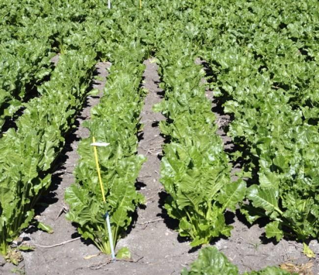 Recomendaciones para la siembra de otoño de la remolacha azucarera en la próxima campaña