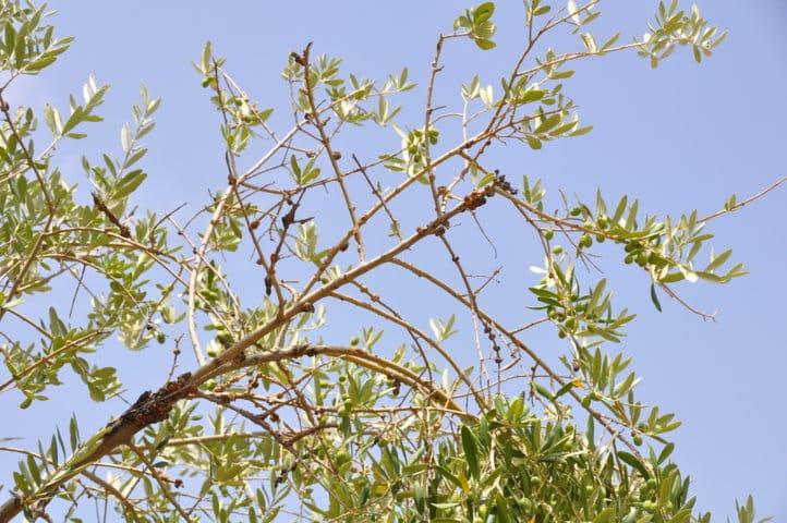 Eficacia de los productos cúpricos en el control de la tuberculosis del olivo