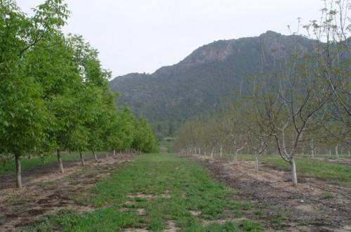 El nogal para fruto en España