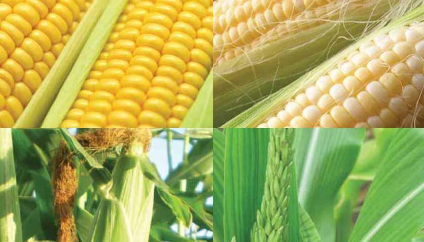 Renacionalización del uso de OGMs: ¿es esta la apuesta de la UE por la innovación?
