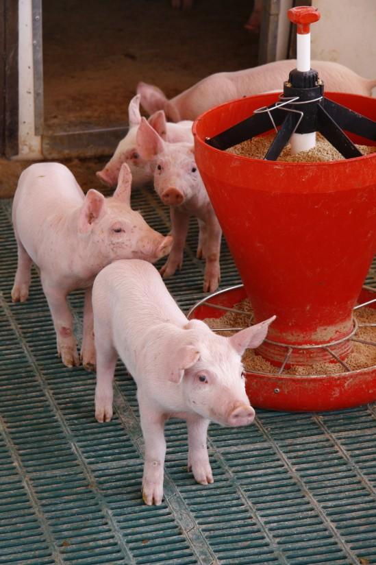 Adaptación del sector porcino a la normativa comunitaria de bienestar animal