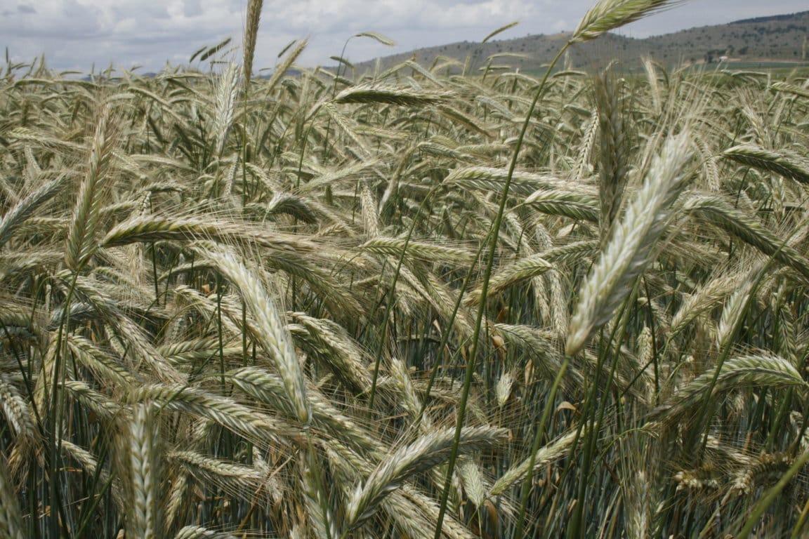 La cadena de alimentos y piensos de la UE rechaza renacionalizar la autorización de OMGs