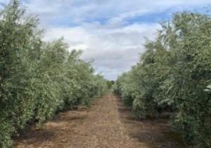 Hacia el control biológico de las enfermedades aéreas del olivar