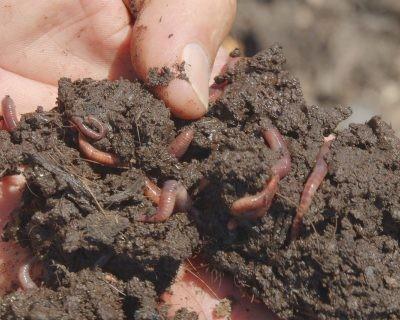 El humus de lombriz, un eficaz fertilizante natural para la huerta intensiva de Almería