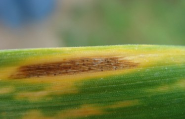 septoriosis (FILEminimizer)