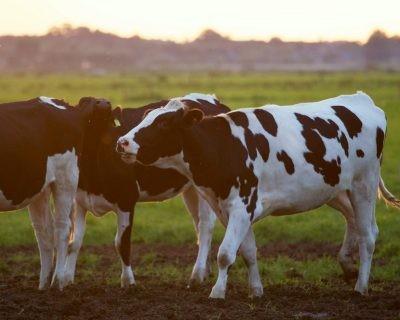 Determinan los principales retos de las explotaciones de vacuno de leche
