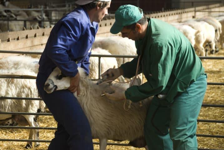 Casi un 85% de los ganaderos, satisfechos con el seguro de retirada de animales muertos