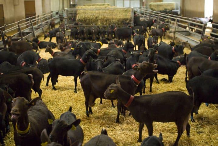 Inlac pide la revisión de los índices de referenciación de los precios de leche de cabra