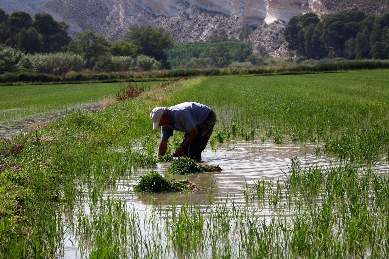 La FAO prevé cosechas mundiales favorables en 2015, con puntos críticos de inseguridad alimentaria