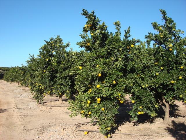 Ailimpo prevé una cosecha de 850.400 t de limón para la campaña que se iniciará después del verano