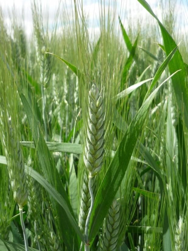 Iberus, la nueva variedad de trigo duro de Agromonegros