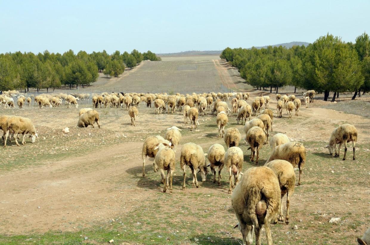 Bajan  las entregas de leche de oveja y de cabra, pero suben precios en agosto
