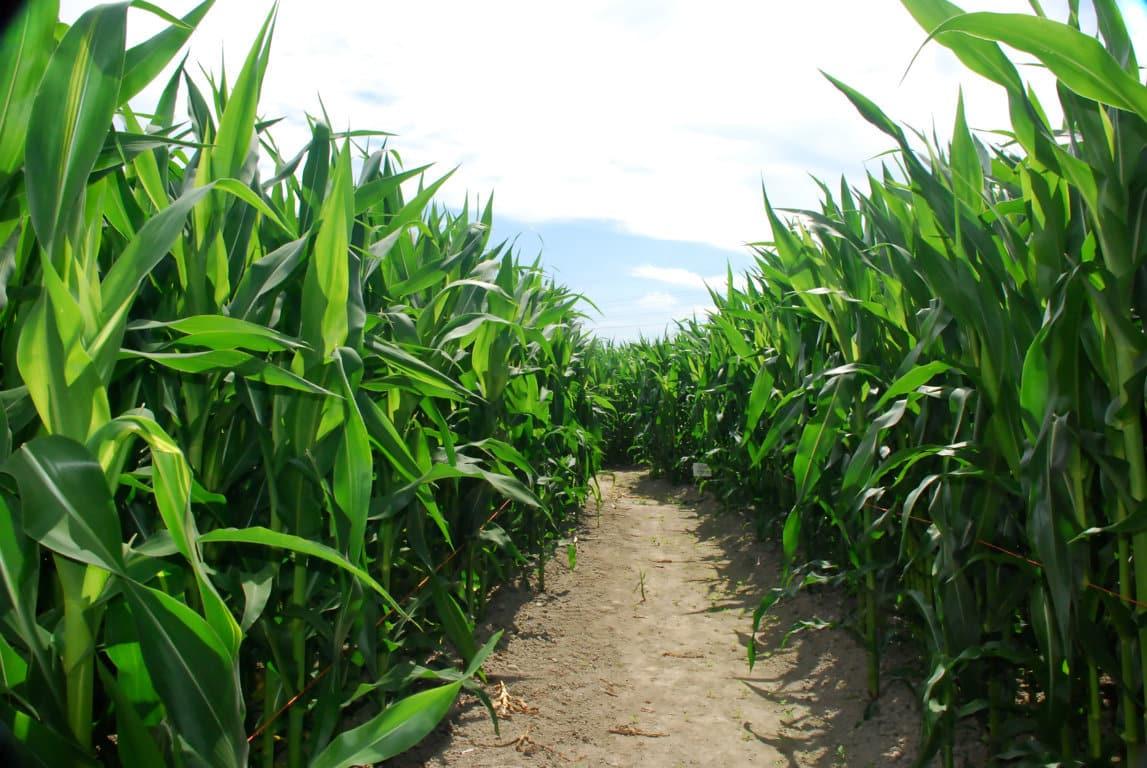 El PE rechaza que los países puedan prohibir el uso de OGMs en su territorio