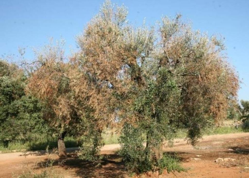 Más medidas contra la Xylella fastidiosa, la bacteria que ataca a los olivos