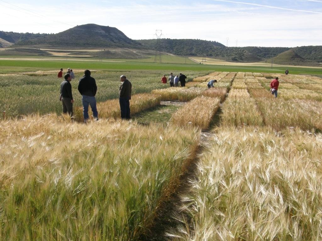 Aumento del uso de semilla certificada en los trigos españoles en la cosecha de 2015