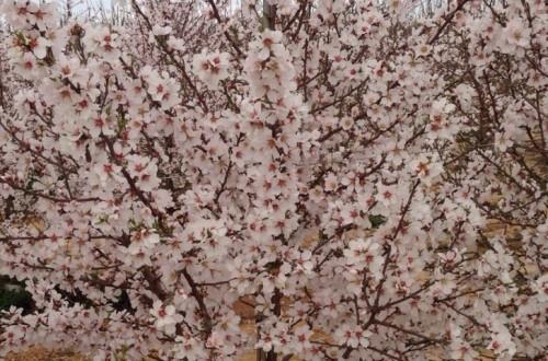 Comportamiento de las principales variedades de almendro en floración tardía