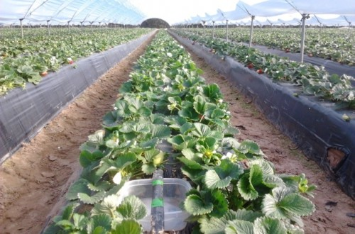 Ahorro de agua en el cultivo de la fresa sin comprometer la producción