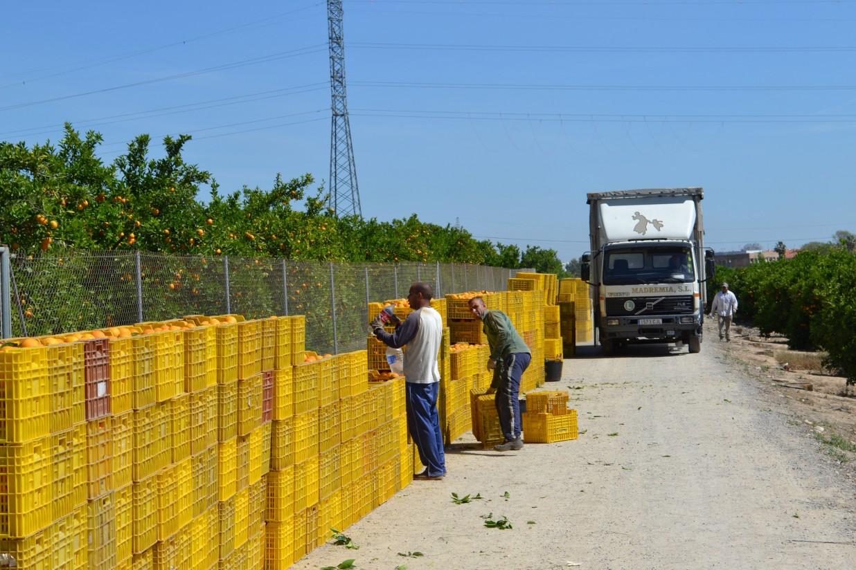 La falta de rentabilidad empuja a los agricultores valencianos a abandonar 3.136 ha de cítricos y 2.386 de viña