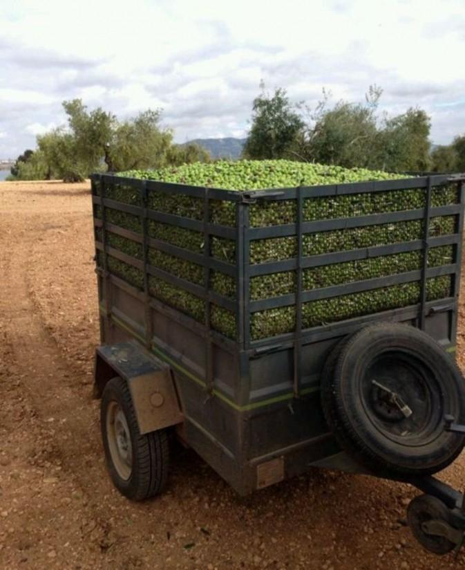 Las salidas de aceite de oliva al mercado en diciembre se elevaron a 118.300 toneladas