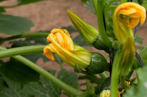 Tendencias varietales en la horticultura protegida