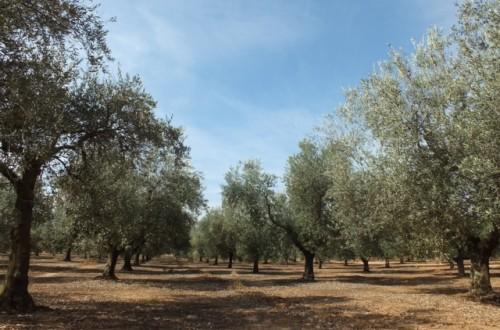 Conservación y uso de la biodiversidad en olivo