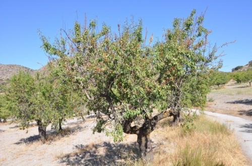 La moniliosis del almendro, susceptibilidad varietal en Andalucía