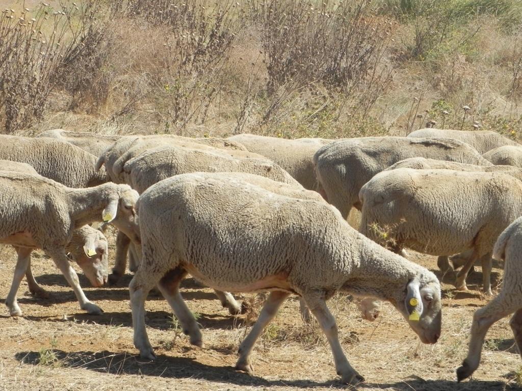 Ayuda asociada de 30,16 M€ para 2.537 ganaderías de ovino-caprino con derechos especiales en 2015/16