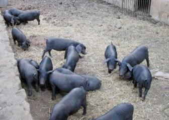 cerdo negro mallorquin (FM)