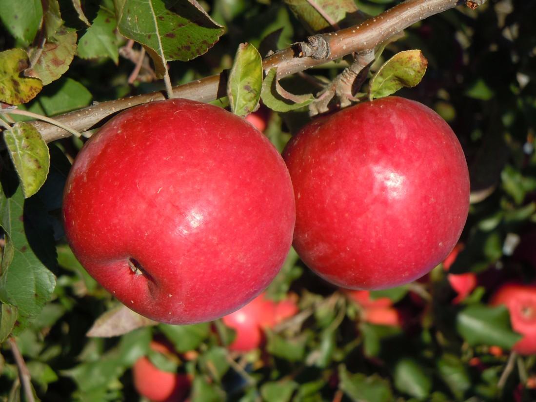 Afrucat se propone liderar el mercado nacional de la fruta de pepita