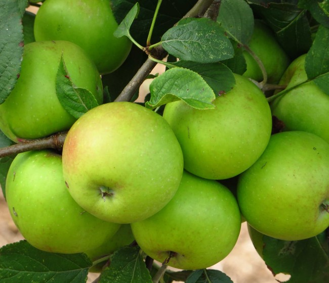 Armicarb, el fungicida ecológico de Certis para hortícolas y leñosos