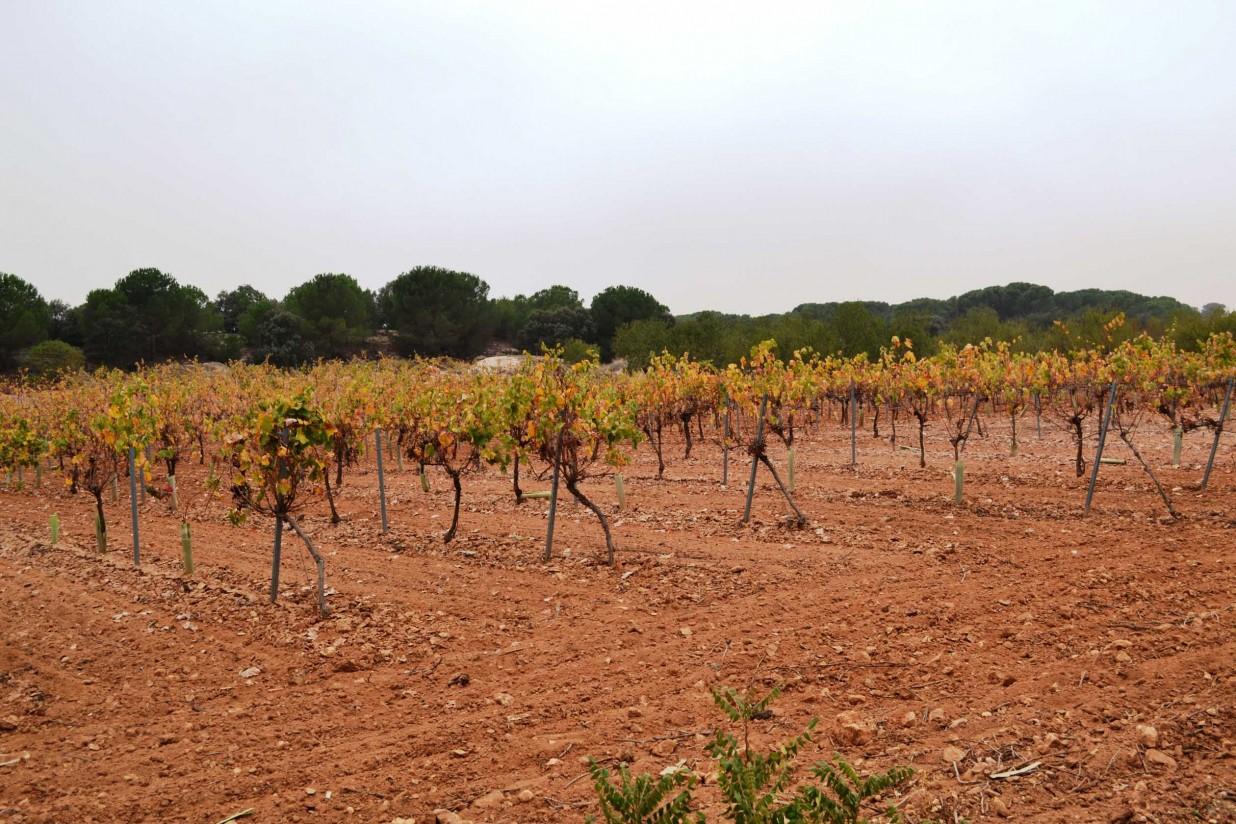 Malestar en los viticultores de Castilla-La Mancha por no poder plantar sus viñas por motivos administrativos
