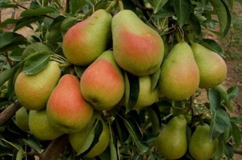 Un mercado complicado para la pera y la manzana en Europa