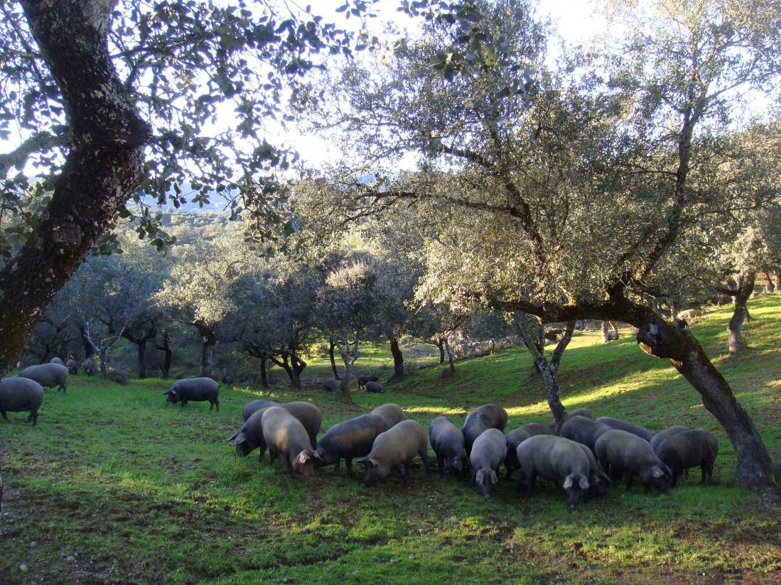 Nueva reglamentación del Libro Genealógico del Porcino Ibérico