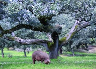 Porcino iberico (Fm)